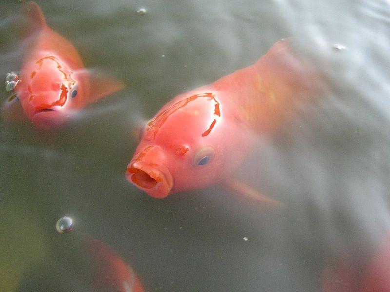 800px-Goldfishes